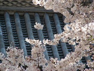 写真20090406b: 山門と桜