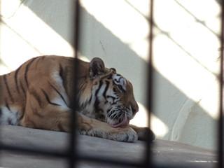 写真20100108b: トラ毛繕い