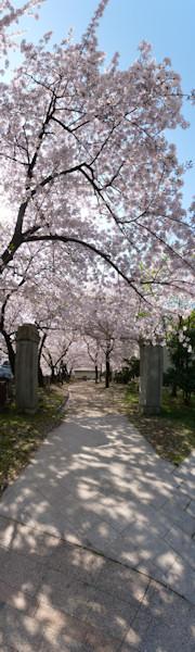 写真pano_20110410_06b2: 桜の下で縦長パノラマ